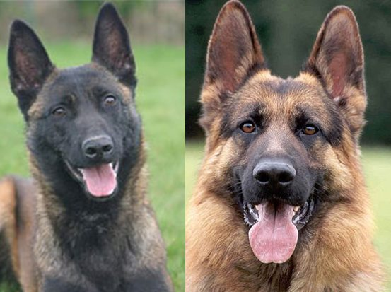 Belgian Malinois vs. German Shepherd