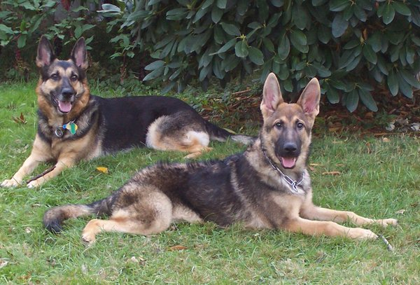 Female vs. Male German Shepherd