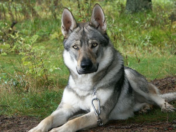 should you adopt a german shepherd wolf mix read before