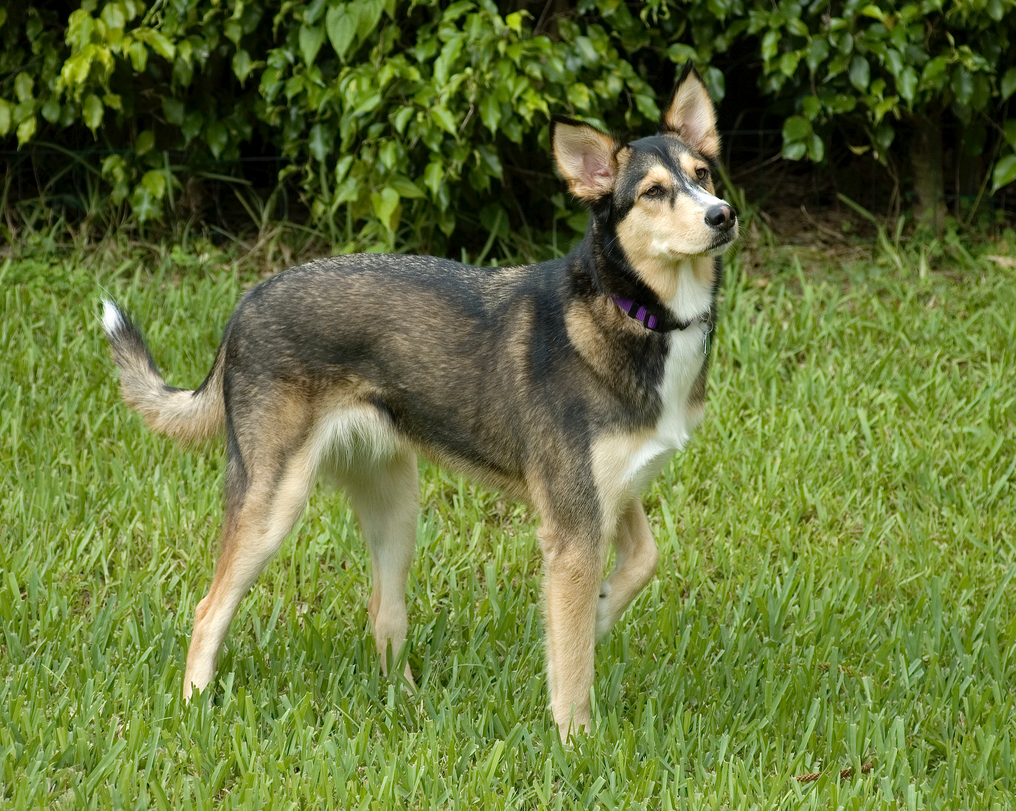 a beginner s guide to husky golden retriever mix with pictures