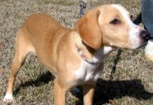Beagle Lab Mix